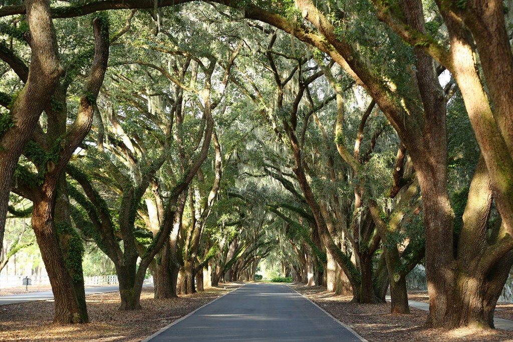 Spanish Moss Oaks at Belfair Plantation